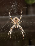 Garden Spider on Web from Below, Middlesex, UK Photographic Print by O'toole Peter