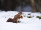 Red Squirrel, Sat in Snow, Lancashire, UK Stampa fotografica di Elliot Neep