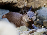 European Otter Eating an Eel on a Rocky Shore, Scotland Stampa fotografica di Elliot Neep