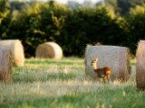 Roe Deer, Young Doe Standing Beside Rolled Hay Bail, Somerset, UK Stampa fotografica di Elliot Neep