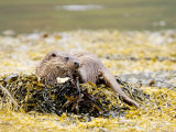 European Otter, Female Resting While Eating a Crab on a Seaweed Covered Rock, Scotland Photographic Print by Elliot Neep