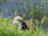 European Otter on Grass Bank Near Water, Sussex, UK Photographic Print by Elliot Neep