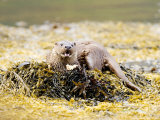 European Otter, Female Eating a Crab on a Seaweed Covered Rock, Scotland Photographic Print by Elliot Neep