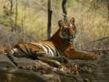 Bengal Tiger, Female Resting, Madhya Pradesh, India Photographie par Elliot Neep