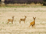 Roe Deer, Doe and Two Fawns in Fallow Field, UK Photographic Print by Elliot Neep