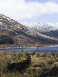 Highland Red Deer, Stag Laying in Grass with Mountainous Backdrop, the Highlands, Scotland Photographie par Elliot Neep