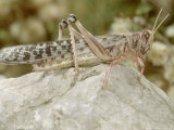 Desert Locust, Female Photographic Print by  London Scientific Films