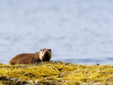 European Otter, Female on Seaweed Covered Rocks, Scotland Photographic Print by Elliot Neep