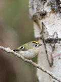 Goldcrest, Perched on Birch Branch with Fly in Bill, Lancashire, UK Stampa fotografica di Elliot Neep