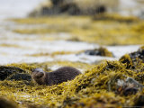 European Otter, Male Resting on Seaweed Covered Rocks in Heavy Rain, Scotland Photographic Print by Elliot Neep