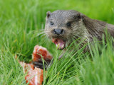 European Otter, Eating Salmon in Grass, Sussex, UK Photographie par Elliot Neep