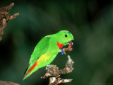 Blue-Crowned Hanging Parrot, Male Eating, Zoo Animal Photographic Print by Stan Osolinski