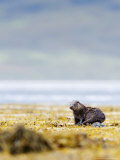 European Otter, Juvenile Resting on Rock Amongst Seaweed, Scotland Photographic Print by Elliot Neep
