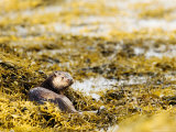 European Otter, Female Lying on Seaweed, Scotland Photographic Print by Elliot Neep