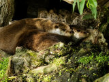 Pair of Otters Curled up at Base of a Willow Tree, Earsham, UK Photographic Print by Elliot Neep