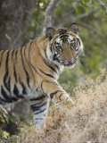 Bengal Tiger, Portrait of Young Male, Madhya Pradesh, India Photographic Print by Elliot Neep