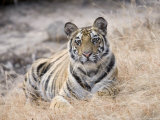 Bengal Tiger, Young Female Lying in Soft Grass, Madhya Pradesh, India Photographic Print by Elliot Neep