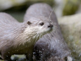 Asian Short Clawed Otters, Playing in a Rockpool, Earsham, UK Photographic Print by Elliot Neep