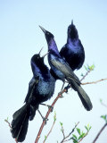 Boat-Tailed Grackle, Displaying Males, USA Photographic Print by Stan Osolinski