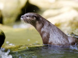 Asian Short Clawed Otter, Climbing out of Rockpool, Earsham, UK Photographic Print by Elliot Neep