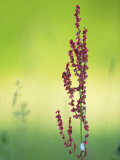 Common Sorrel (Dock), Pink Dock Flower Against Green Backdrop, Middlesex, UK Photographic Print by Elliot Neep