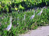 Great Egret, Hunting from Pickerelweed, USA Photographic Print by Stan Osolinski