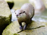 Asian Short Clawed Otter, Standing on a Rock, Earsham, UK Photographic Print by Elliot Neep