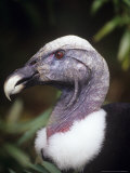 Andean Condor, Female Portrait, Zoo Animal Photographie par Stan Osolinski