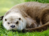 Otter, Close up of Female Otter in Grass, Earsham, UK Photographic Print by Elliot Neep