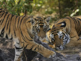 Bengal Tiger, 6 Month Old Cub and Tigress, Madhya Pradesh, India Photographic Print by Elliot Neep