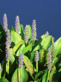 Pickerelweed, Florida, USA Photographic Print by Stan Osolinski