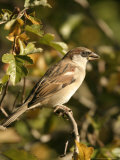 House Sparrow, Male Perching, Middlesex Stampa fotografica di Elliot Neep