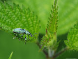 Nettle Weevil on a Stinging Nettle Leaf, Hertfordshire, UK Photographic Print by Elliot Neep