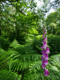 Foxglove, Ruislip Woods National Nature Reserve, UK Photographic Print by Elliot Neep
