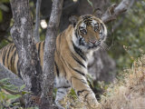 Bengal Tiger, Young Male Approaching from Around a Small Tree, Madhya Pradesh, India Stampa fotografica di Elliot Neep