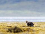 European Otter, Juvenile Preening on Rock Amongst Seaweed, Scotland Photographic Print by Elliot Neep