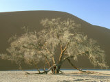 Camelthorn Acacia, Namib-Naukluft Park, Namibia Photographic Print by Stan Osolinski