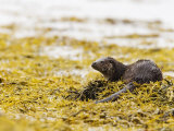 European Otter, Male Resting on Seaweed Covered Rocks, Scotland Photographic Print by Elliot Neep