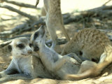 Meerkats, Resting in the Shade, Kalahari Fotoprint van David Macdonald