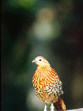 Bamboo Partridge, Zoo Animal Photographie par Stan Osolinski