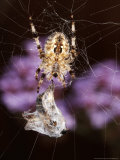 Garden Spider on Web with Prey, Middlesex, UK Photographic Print by O'toole Peter
