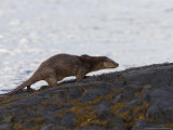 European Otter, Female Otter Running on Dark Bedrock on the Loch Shore, Scotland Photographic Print by Elliot Neep