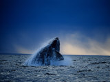 Southern Right Whale, Breaching, Peninsula Valdes Photographic Print by Gerard Soury