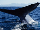 Blue Whale, Flukes, Baja California, Mexico Photographic Print by Gerard Soury