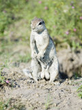 South African Ground Squirrel, Male in Breeding Condition, Central Kalahari Game Reserve, Botswana Fotografisk tryk af Mike Powles