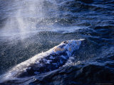 Grey Whale, Blowing, Baja Califo Photographic Print by Gerard Soury