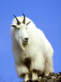 Mountain Goat, South Dakota, USA Photographic Print by Wendy Shattil & Bob Rozinski