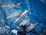 Long-Snouted Spinner Dolphin, Bowriding, Brazil Fotografisk trykk av Gerard Soury