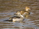 Pintail, Breeding Pair, UK Photographic Print by Mike Powles