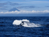 Blue Whale, Porpoising, Azores, Portugal Photographic Print by Gerard Soury